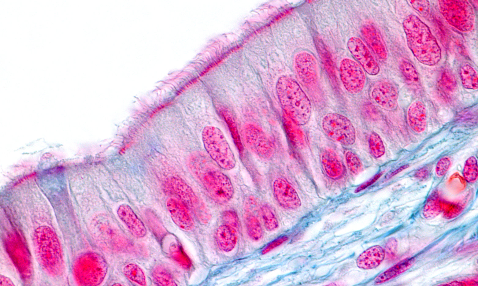 Respiratory epithelium